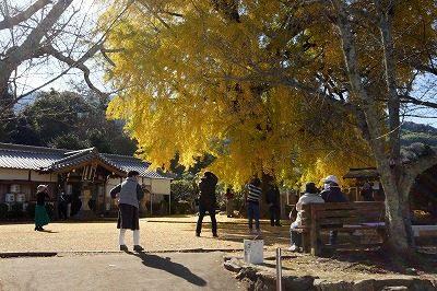 丹生酒殿神社の大イチョウが黄葉見頃、かつらぎ町(写真付)