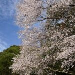 古座川町などでクマノザクラ見ごろ、催しも(写真付)