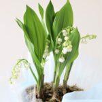 全日空・日赤和歌山医療センターに「しあわせの花・すずらん」贈る